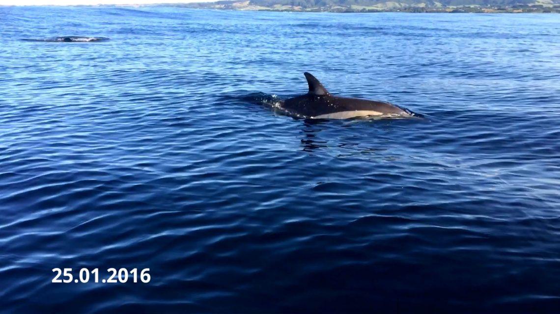 Dolphin of Oakura Beach